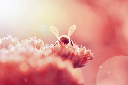 Peaceful bee on Flickr.FB fanpage: http://www.facebook.com/pages/Anne-Marthe-Widvey-Photography/196822267000339