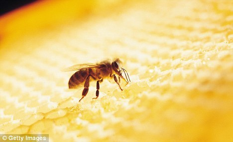 Honey: The 'bee penicillin' that could even beat MRSA -  It is often hailed as a natural, healthy sweetener – but in most cases, honey bought from supermarkets today is simply sugar syrup with no nutritional value at all. To reap the true benefits of what was dubbed 'the food of the gods' by the Ancient Greeks, you have to look for the raw variety.SPOT THE DIFFERENCEPerfectly clear honey has usually undergone a process of ultrafiltration and pasteurisation, which involves heating and passing it through a fine mesh, to ensure it remains runny at any temperature. This strips away many of the unique chemicals and compounds that make it a nutritious and healing health food.There is no law that requires a beekeeper or factory to specify whether the honey is raw. Non-EU honeys are often treated with the antibiotic chloramphenicol, a substance that can be dangerous to pregnant mothers.  Chinese honey was banned from being imported to EU member countries in 2002 for precisely this reason.Even the word 'organic' on a label does not guarantee that a honey is raw. Unless the jar specifies that it is raw, look for a cloudy honey with a white residue of pollen sitting on the top of the jar. Raw honey might crystallise over time, but this is not a sign of rot – raw honey is a natural preservative. The jar just needs to be submerged in a bowl of hot water for 15 minutes to liquefy the contents. You should be able to find raw honey at most supermarkets.CHOOSE HONEY FROM HEDGEROW BEESRaw honeys vary in colour because of the flowers from which the bees obtain their nectar, pollen and resin. The darker the colour, the higher the level of antioxidants.Raw honey is particularly high in polyphenols, an antioxidant that has been linked to a reduced risk of cancer, lowering blood cholesterol and combating heart disease. The darkest varieties of honey include heather and hedgerow honey, which have a polyphenol content of 201mg per gram. In contrast, rapeseed oil honey, known in supermarkets as 'blossom honey', trails behind at just 71mg per gram.The white ring of pollen on the top contains B vitamins, Vitamins C, D and E as well as minerals and 31 other antioxidants, although to get close to your recommended daily amounts of each nutrient you need a pollen supplement.THE MRSA FIGHTER THAT COMES IN A JARUnfiltered honey also contains a powerful substance called propolis, nicknamed bee penicillin, which is made from the resin that oozes from trees. Bees mix this resin with their saliva to create an antibacterial, antiviral and antifungal 'wallpaper' to ensure disease cannot enter their hives. Traces of this brown substance break off into the raw honey to make it naturally antibacterial.Bees also add the enzyme glucose oxidase to honey. When this comes into contact with moisture, it releases low levels of antiseptic hydrogen peroxide, which can kill bacteria but does not damage skin tissue.The University of Waikato in New Zealand found that when raw honey was applied to MRSA infected antibiotic-resistant wounds, they became sterile and healed so quickly that patients could leave hospital weeks earlier. Scarring was minimised because peeling back a dressing glazed in honey – as opposed to a dry bandage – did not disturb the new tissue underneath. If you suffer a minor wound or burn, glaze a bandage with raw honey and cover. Change the glazed bandage every 24 hours and any cuts or signs of infection should disappear within a week (if not, see a doctor).While manuka honey – a variety produced using only nectar and pollen from the manuka bush in New Zealand – gets the majority of press for being antibacterial, a good-quality raw UK honey will also be powerfully antibacterial and can kill E.coli and MRSA.FRIENDLY BACTERIA TO BEAT ULCERSUnprocessed honey aids digestion as it is prebiotic (stimulating the growth of healthy bacteria in the gut) and contains probiotics (the 'good' bacteria that help maintain a healthy digestive system). The University of Lund in Sweden found that raw honey contains bifidobacteria and Lactobacilli, which prevent stomach upsets. Eating raw honey daily has also been shown to be effective in treating and preventing gastric ulcers because it fights the Helicobacter pylori bacteria that trigger the ulcer.THE RAW FUELHoney is a better energy source than white sugar. While one teaspoon of honey contains 22 calories and sugar just 15, the sweetness of honey is greater so you need less. But what makes honey ideal as fuel for exercise is the combination of glucose (pure sugar) and fructose (pre-digested sugar from fruits), which provides instant and slower-burning energy, as opposed to the pure sucrose of sugar.The Glycaemic Index (rate at which sugar enters the bloodstream) of sugar is high at 61, while raw honey is 35. A study at the University of Memphis found that cyclists who drank honey and glucose solution instead of sugar-laden energy drinks finished a 38-mile race on average three minutes faster. If you are going on a bike ride, drink two of teaspoons of raw honey and two teaspoons of sugar mixed into a bottle of warm water and allowed to cool.TAKE CLEOPATRA'S ADVICERaw honey's anti-inflammatory properties can help soothe chronic skin conditions. Cleopatra famously bathed in milk and honey because of their skin-softening qualities – honey is a natural emollient as it is humectant (it attracts water). Melting half a jar of raw honey into a warm bath will promote healing in patients suffering with skin conditions such as psoriasis or eczema, too. Mixed with olive oil, raw honey applied to the scalp is also a great tonic for those suffering with a seborrheic dermatitis (a flaky scalp condition). [click here to read the original article on dailymail.co.uk]