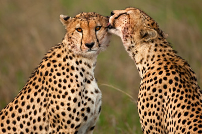 fyeahwildlife:  Cheetah 41 by ~catman-suha