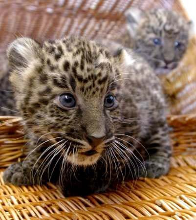 Baby Javan Leopards