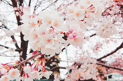 Cherry Blossoms by (jpellgen)