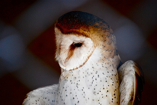 black-wolves:  barn owl (by ..CH..)