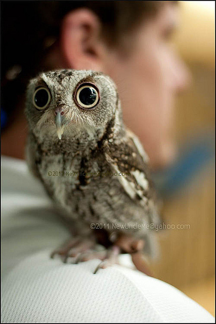 eastern screech owl | Tumblr