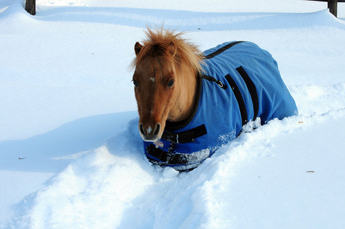 [Description: Photo of a pony walking while chest-deep in snow.]