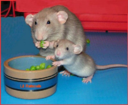 I miss having rats. They're really wonderful pets. I want to be friends with them.