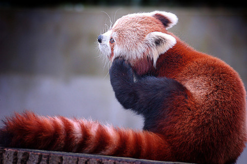 Red pandas are adorable, though the one at our zoo looks more like a spray painted raccoon. Not like this guy.