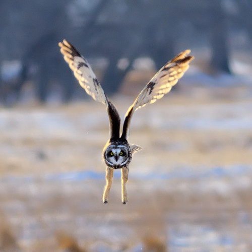 fairy-wren:  short-eared owl photo by fort photo