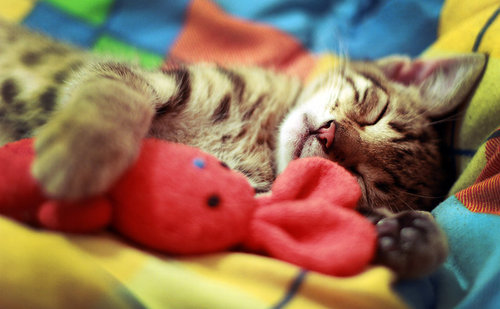 cute-kitty-cats:  cat and toy