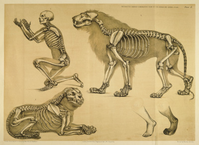 Man, and the Lion Both the anatomist and the artist can see here the vast difference in forelimb and hindlimb structure between the lion and man (provided solely for comparison). The forelimb of the lion is far thicker and sturdier than that of man, but the digits and bone layout are very much alike, save that the lion has but four digits on the hindlimb. In the forelimbs, the lion has pronounced bony sheaths for its retractile claws, which form a very visible rounded enlargement at the end of the end of each toe. These are not nearly as evident on the hindlimbs, where a very slight indication of the claw can be seen at the end of the digit. Other things important to note are the tooth structure and arrangement, and what teeth are showing when a lion is attacking. Together, the size and weight of the front limbs and their corresponding muscles, along with the teeth and jaws, can be said to be the characteristic points of the lion. The hind limbs, slender neck, vertebral column, and ribs, are only suggestive of the agility which allows this animal to use his front limbs and jaws with such power as to have rendered the figure of the Lion a symbol of strength, power, and destruction. A Comparative View of the Human and Animal Frame. B. Waterhouse Hawkins, 1860.