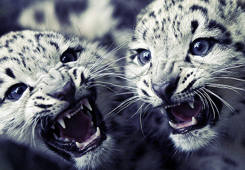 thesnowtigersaysmeow:  naaww Aren't they cute!?