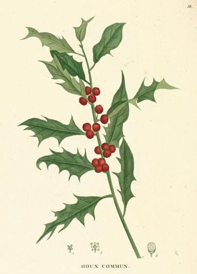 biomedicalephemera:  jtotheizzoe:  Christmas Chemistry - The Science of Holly All about holly, that most poisonous of holiday decor. (via Scientopia Guests' Blog)  Seeing as this is a much better illustration than the ones I dug up, AND it has a very interesting article with it, here's your holly for the season. :D
