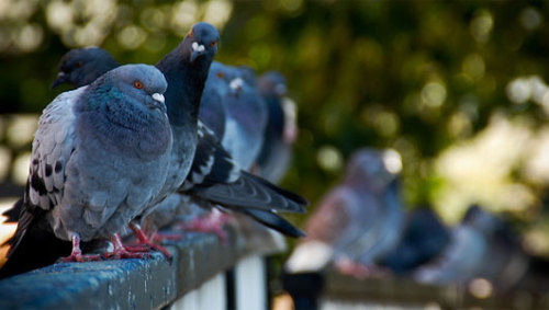 New research shows pigeons can do mathPigeons were able to be trained to order groups of objects up to about six, but became a little flighty after that.
