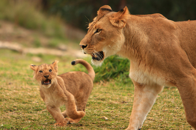 sea-blue:    Lions & Lion Cubs by fortherock on Flickr.