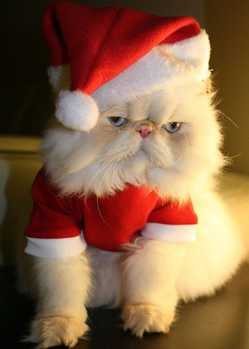 Hey Internet, look! Christmas Cats! (With brilliant captions.) (This one's from Patti Lowery)