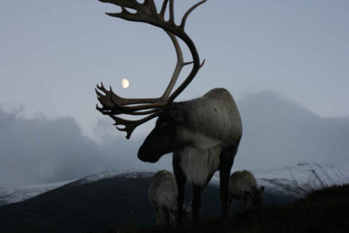ghost-man-blues:  Reindeer Stag