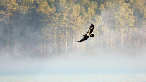 Immature bald eagle (photo by DistantFocus)