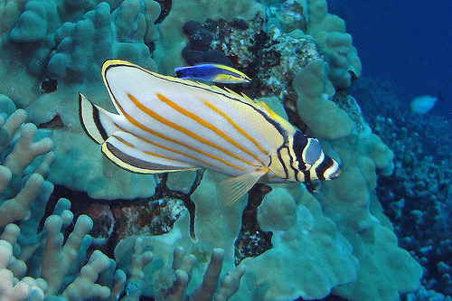 Ornate Butterflyfish (by BarryFackler)