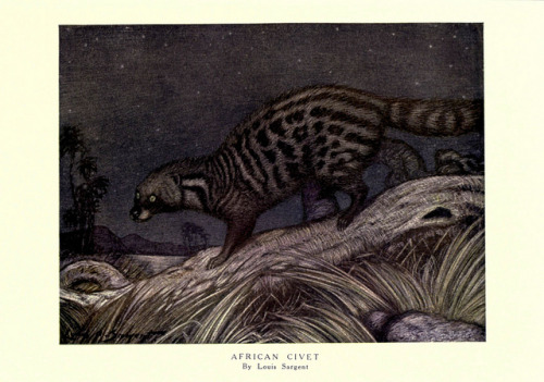 n144_w1150 by BioDivLibrary on Flickr. The African Civet (Civettictis civetta)