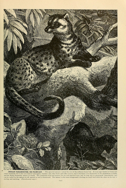 n162_w1150 by BioDivLibrary on Flickr. The Asian Palm Civet (Paradoxurus hermaphroditus)