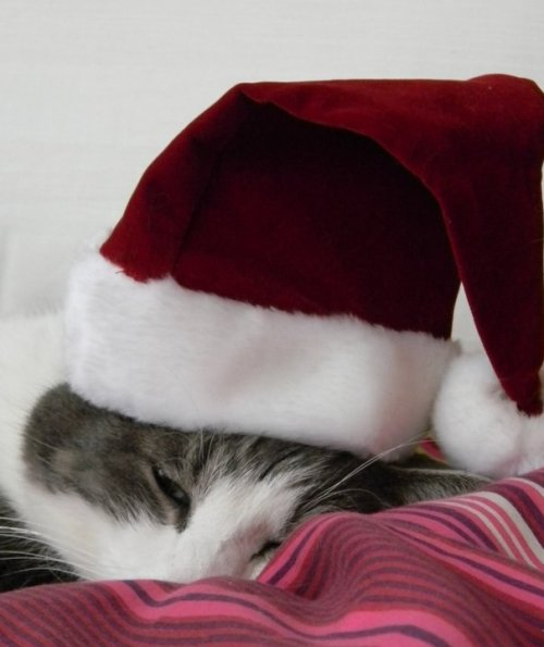kittenskittenskittens:  My cat, Elliot. Merry Christmas! sincethedinosaurs.tumblr.com
