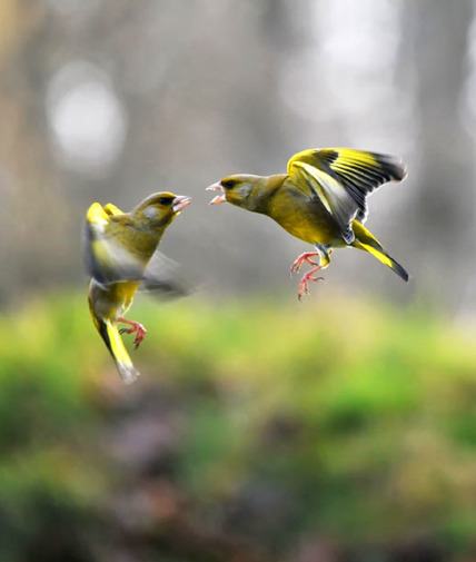 "Battle of the Birds: Caroline Broad took this great photo of green finches fighting in her garden. She says: ""Of all the birds we get, green finches seem to be the most cantankerous - they're constantly battling each other."""