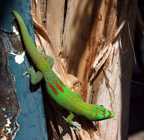 The Gold-dust Day Gecko (Phelsuma laticauda) is a diurnal species of day gecko native to Madagascar and the Comoros, although it has been introduced to Hawaii and other Pacific islands. It grows to about 15–22 cm (6–9 in) in length and is bright green or yellowish green with rufous bars on the snout and head, and red bars on the lower back. (photo/text: Thierry Caro)