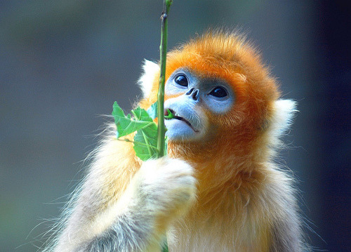 Golden snub nosed monkey (by floridapfe)