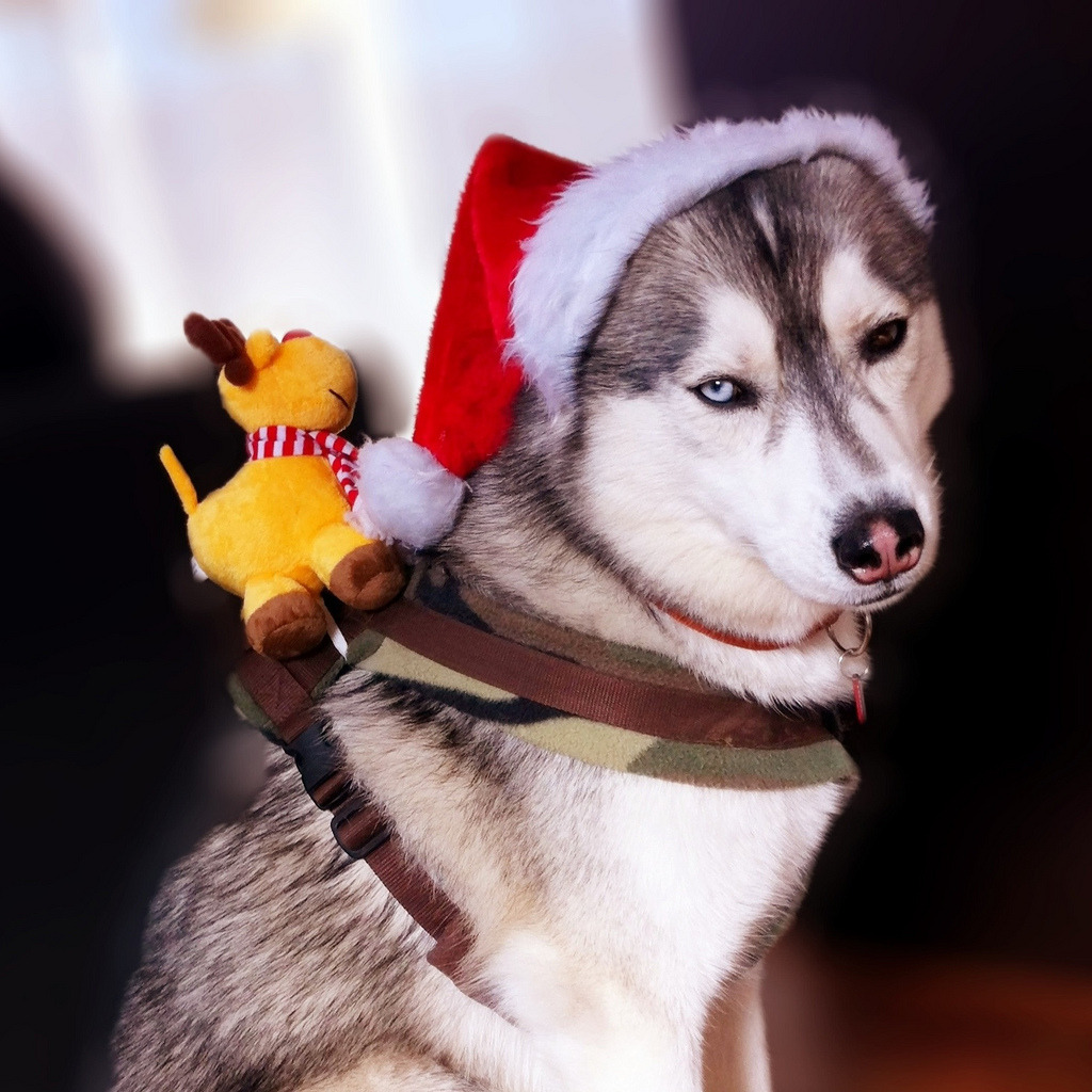 Happy Chrissmiss, Siberian followers! Hope you all got your pups presents too. ;) Here's to another year of beautiful dogs. ——-MS
