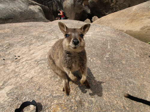 magicalnaturetour:  Rock Wallaby by certified su on Flickr.:)