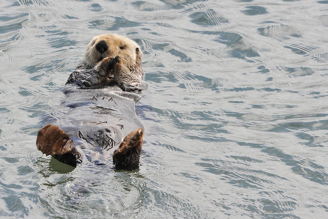 theoceaniswonderful:  Sea Otter #30 by andertho on Flickr.