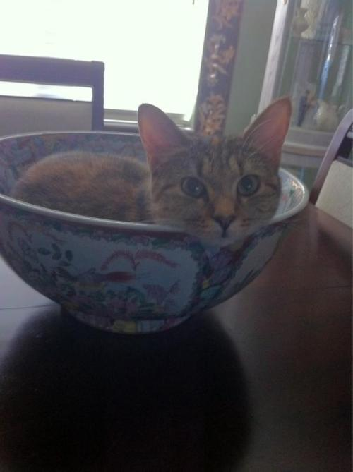 get out of there cat. you are not a decorative bowl and no I will not fill it with food.