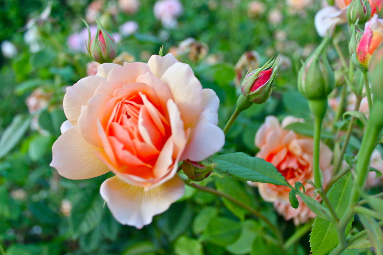 princesagemelita:  Orange rose