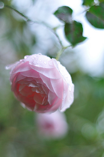 Rose'Heritage' after the rain (by myu-myu)