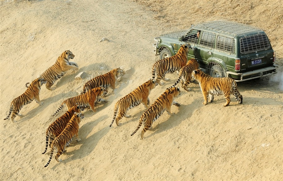 fotojournalismus:  Siberian tigers approach a keeper's car as they wait to be fed at the Siberian Tiger Forest Park in Harbin, China on Dec. 27. More than 800 Siberian tigers are currently living in the park, which is also a breeding center for this endangered species, local media reported. [Credit : Sheng Li/Reuters]