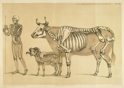 "Man (Homo sapiens sapiens), Cow (Bos taurus), and Ram (Ovis aries) The structure of the ruminant animals varies considerably. It's important for the artist to recognize the vertebral layout and rib structure, even of animals that are covered in thick wool or fur. Wild bovids (such as bison) and aurochs have extended cervical vertebrae that form a ""hump"" over their shoulders. A Comparative View of the Human and Animal Frame. B. Waterhouse Hawkins, 1860."