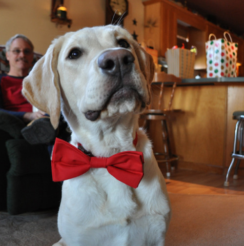 I got my dog a bow tie for Christmas because bow ties are cool.