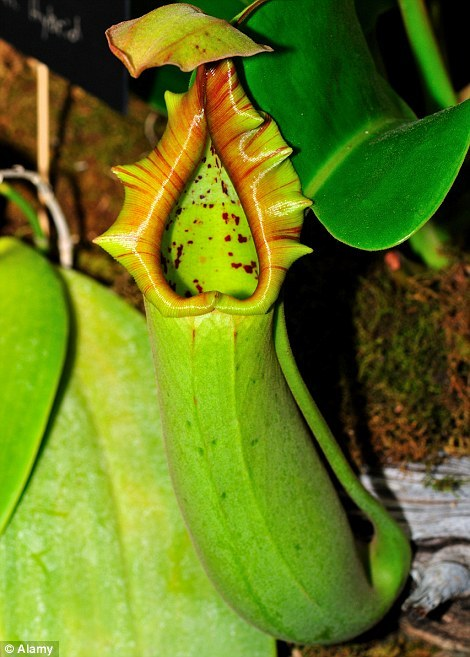 "We love carnivorous plants, but who doesn't? They're completely fascinating and a little bit creepy. And now the world has a newly recognized one. The 'Queen of Hearts' plant, now known as Nepenthes robcantleyt, was discovered in the wilds of Borneo in the 80s, and though speculation has swirled that the giant plant—capable of ""eating"" small rodents as well as insects—is of an unknown species, it took until just this year for one of our colleagues at Kew to confirm it as such."