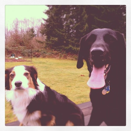 Bailey and Rocky. #eugene #oregon #instadog #blacklabs #bordercollie #nashville (Taken with instagram)
