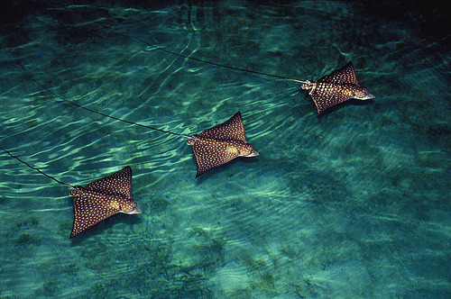 fyeah-seacreatures:  Eagle Rays. By: (courtneyplatt)