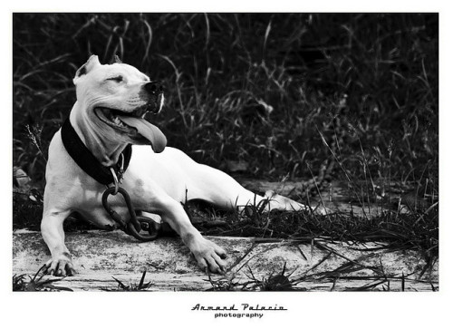 pitbull by pearldiver2007 on Flickr.