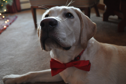 Here is another picture of my dog wearing a bowtie because of reasons.