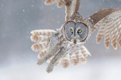 Great grey owl (by: scottlinstead)