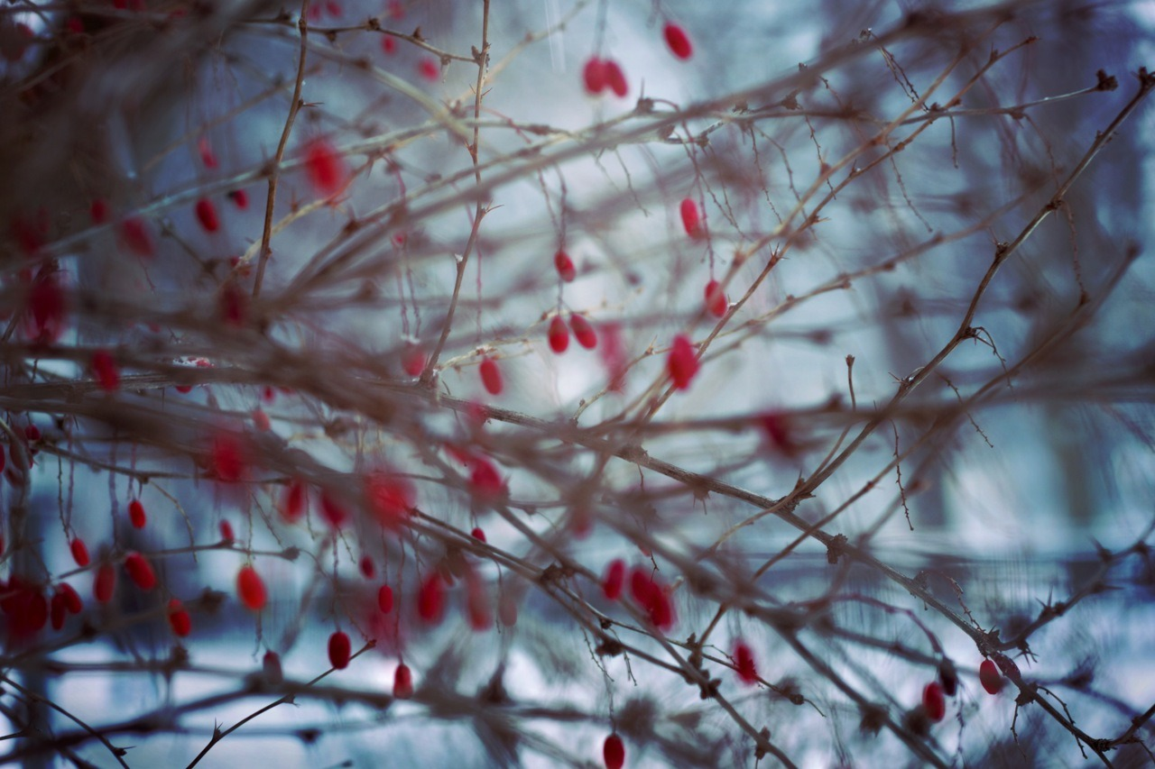 xiaophotography:  Berry dream © Y. Xiao 2011 (http://www.tumblr.com/blog/xiaophotography)