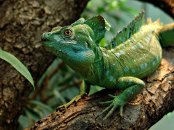 Yes, this is the famous Jesus Christ Lizard! The Green Basilisk Lizard (Basiliscus plumifrons) goes by a lot of names. The plumed basilisk, double-crested basilisk..It's all the same, an amazing reptile with the ability to walk on water! They're found in the tropical rainforests of Central America, from southern Mexico to Panama. You can commonly spot one in trees, never too far from water! That's because when they're threatened, they drop from the trees and into the water, and travel at up to 5 feet (1.5 meters) per second across the surface! Thanks to their long toes with fringes of skin that unfurl in the water, they are given the ability to walk on water. It's because they increase surface area when they uncurl their toe's skin, and when they rapidly churn their legs and slap the water with their feet, air pockets are formed that prevent them from sinking. They can do this for up to 15 feet (4.5 meters), and once gravity begins to take over, their excellent swimming abilities help to continue their flight.  They can get surprisingly big, the average adult measuring 2 feet (61 centimeters) in length, including their whip like tails. Males are easily distinguished, since they have high crests on their heads and backs, which are used to impress females. Once the females are…echem…Impressed.. ;) They will mate, and then the female will prepare a shallow trench where around 20 eggs are deposited. The eggs are then left alone, and hatchlings are born with the ability to run, climb, and swim! This will help them to find food for the first time.. Being omnivores, it isn't too hard for them to find food. They'll eat anything from plant material to insects or fruit, and even small vertebrae. Of course, in the process they need to avoid BEING eaten by any snakes or birds! Photo Credits: Joachim S. Muller