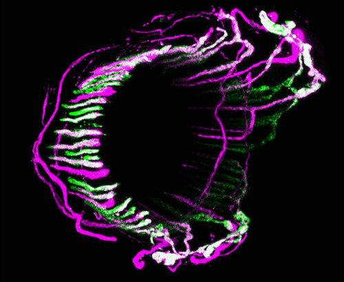 "Fluorescent nerves allow for exploration of the most mysterious sense: touch  A new technique for color-coding nerves involved in touch gives neuroscientists a much-needed tool for studying that mysterious sense. For nearly 250 years, the intricate detail and complexity of skin's nervous-system wiring has thwarted attempts at understanding it. But if researchers studying skin could be imagined as technicians reverse-engineering a supercomputer's peripherals, they'd have just traced about four lines back to the motherboard. ""Of all five major senses, the skin sense is the least understood. It's an enormous frontier, and this is a huge leap forward,"" said Jeff Woodbury of the University of Wyoming, a sensory biologist who co-authored a study of nerve endings Dec. 23 in Cell. ""With this technique we hope to unravel all of the different circuits of skin sensation."""
