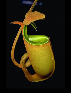 Nepenthes bicalcarata. Apparently pitcher plants come with fangs now…