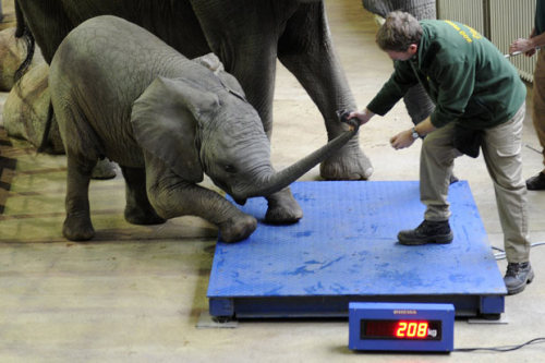 allcreatures:  A keeper tries to persuade baby elephant Uli to step on the scales during inventory at the zoo in Wuppertal, Germany. Picture: MARIUS BECKER/AFP/Getty Images