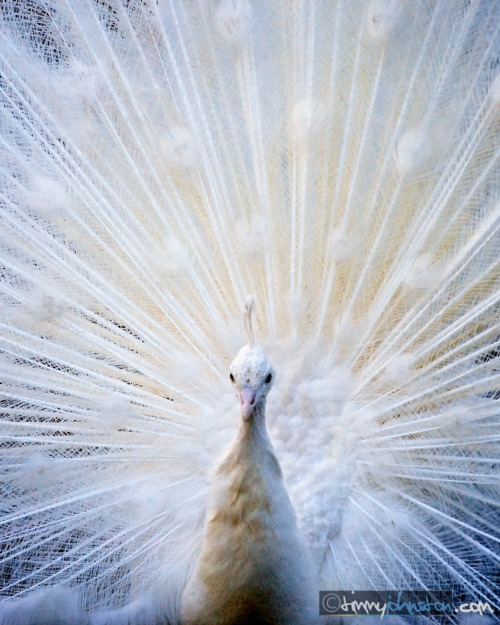 I had never seen an Albino Peacock before. I couldn't believe it when they showed their feathers to me. I must have come too close, they didn't look happy. I promptly took the shot, and booked it outta there! I was really happy with the capture though.