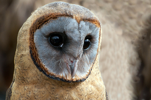 99lions:  Ashy Faced Owl DSC_0739 (by ngbyrne)