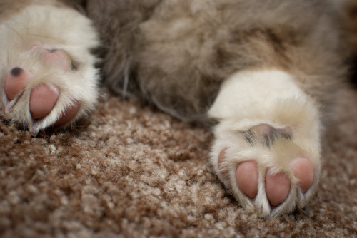 Perfect corgi puppy tootsies. <3